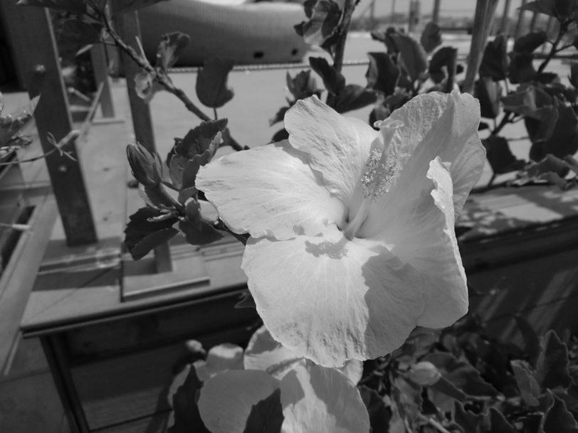 תמונה 2: פרח בשחור-לבן (המרה מפוטושופ), צילום: גאדג'טי